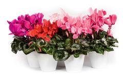Kwiaty doniczkowe w domu: 10 pięknie kwitnących kwiatów domowych [GALERIA ZDJĘĆ]