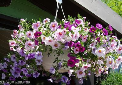 Nawożenie roślin balkonowych. Dlaczego kwiaty balkonowe trzeba nawozić