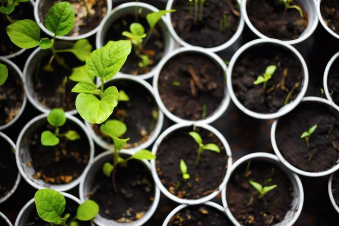 Rozsada roślin