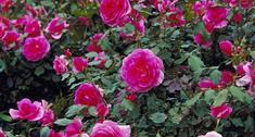 Róże w ogrodzie: sadzenie i pielęgnacja róż ogrodowych. ZDJĘCIA